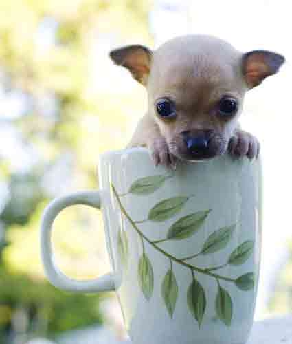 Cutest Teacup Chihuahua Photos